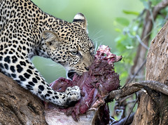 Rare (Khurram Khan...) Tags: wwwkhurramkhanphotocom khurramkhan wildlife wildlifephotography wild africa kenya sony bealpha ilovenature ilovewildlife iloveafrica naturephotography