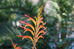 Curia (hans pohl) Tags: portugal centre luso curia fleurs flowers nature plantes plants