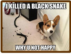 I killed the black snake why you not happy (gagbee18) Tags: aww black dogmemes dogs funny snake