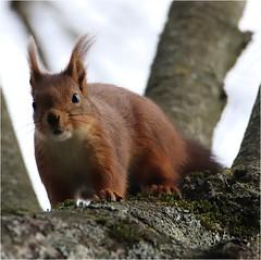 Ecureuil roux (boblecram) Tags: sciurus vulgaris écureuil rongeur nature squirrel sauvage mammifère sciuridé ardilla roja wild occitanie hautegaronne