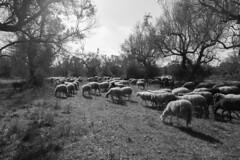 Pecorelle (Shooting in RAW) Tags: buongiorno agnello gregge campagna f28 24mm raw nef d600 nikon natura animali pecore