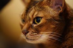 Lizzie close-up (DizzieMizzieLizzie) Tags: lizzie closeup sony fe 135 mm 18 gm 2020 ilce7r a7rm4 a7rmiv ilce7rm4 f18 135mm a7riv dof bokeh golden classic pose ilce chat gatos neko pisica meow kot katze katt gatto gato feline cat portrait dizziemizzielizzie aby abyssinian sonyfe135mm18gm