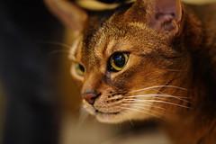Lizzie close-up (DizzieMizzieLizzie) Tags: sony fe 135 mm 18 gm 2020 ilce7r a7rm4 a7rmiv ilce7rm4 f18 135mm a7riv dof bokeh golden classic pose ilce chat gatos neko pisica meow kot katze katt gatto gato feline cat portrait dizziemizzielizzie aby abyssinian lizzie closeup sonyfe135mm18gm