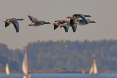 Greylag geese over Chiemsee (Kike K.) Tags: color bird animal insect dragonfly beak feathers light sun sunlight nature water canon river daylight natural bokeh hiking walk tail may amateur 80d park june fly flying pond branch artistic flight gimp telephoto crop meal heat humidity 400mm 2019 gmic italy horse lake green fall heron grass germany bavaria geese swan goose september swamp egret autumn