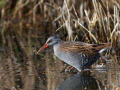 Water Rail (Artisanart) Tags: water rail bird nature wildlife wetland reed reedbed reserve wader norfolk suffolk east anglia