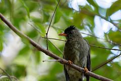 Bulbul Merle (sabathius80) Tags: bulbul merle hypsipetes crassirostris seychelles oiseaux birds nature sauvage branche canon eos 7d mark ii ef 100400mm 4556 is usm port glaud pierreyves chesaux