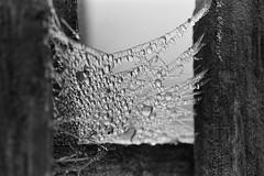 Frozen web (mdpF2) Tags: nikon f6 6028 micro ilford delta 100 ddx film nature bw