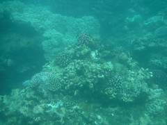 Coral Reef (Rckr88) Tags: pointeauxbiches mauritius pointe aux biches sea water ocean coastline coast coastal reef reefs coral coralreef underwater fish snorkel snorkelling marinelife marine nature naturalworld