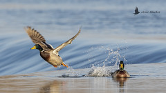 Ánade real (Anas platyrhynchos) (jsnchezyage) Tags: ánadereal anasplatyrhynchos ave pájaro anátida pato bird birding birdwatching ornithology beak feather duck mallard ngc npc