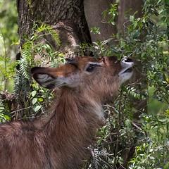 Juvenile Waterbuck (Ian.Kate.Bruce's Wildlife) Tags: waterbuck kobusellipsiprymnus bovidae antelope mammal wildlife nature ianbruce katebruce elsamere lakenaivasha kenya africa