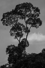 São Gabriel da Cachoeira-AM (Johnny Photofucker) Tags: tree am amazon albero árvore amazonas amazônia sãogabrieldacachoeira brazil bw white black silhouette branco brasil pb preto brasile lightroom silhueta cloud monochrome clouds nuvole nuvem bianco nero cabeçadocachorro 100400mm nature natureza natura vegetação planta plant noiretblanc