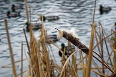 over the water (kinaaction) Tags: water sonyilce6000 nature kaczki ducks pałka pałkawodna typhal winter zima nadwodą