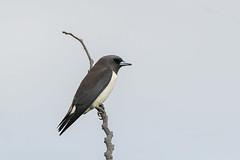White-breasted Woodswallow © (Rodolfo Quinio) Tags: whitebreastedwoodswallow nikond500 nikonafs500mmf4gedvr nikontc14eii gitzogt3540ls wimberleywh200 staelenagolfcountryclub cabuyaolaguna philippines bird swallow nature wildlife 138