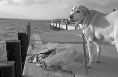 Dog & Net (PositiveAboutNegatives) Tags: leica rangefinder m2 35mm cv35mmf2ultronaspherical cosina voigtlander film analog foma fomapan fomapan100 fx39 adox dog lab labrador yellowlab voigtlander35mmf2ultronaspherical leicam2