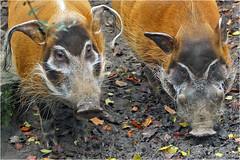 Red river hog (Potamochoerus porcus) (Foto Martien) Tags: redriverhog africanbushpig penseelzwijn rivierzwijn pinselohrschwein flussschwein buschschwein bosvark potamochèreroux potamochèredafrique potamoquerorojo jabalíderío potamochero nguruwe pig hog swine pork wildvarken zwijn westandcentralafrica benin cameroon côtedivoire equatorialguinea congo gabon ghana guineabissau guinea liberia mali nigeria senegal togo uganda zookrefeld kefelderzoo zoo dierentuin dierenpark krefeld deutschland duitsland germany geotaggedwithgps geotag geotagging sonyalpha77 slta77v a77 slt tamron70300mmf456sp martienuiterweerd fotomartien