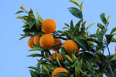 Fruits de saison - Seasonal fruits (alainazer) Tags: marseille provence france fruit orange arbre albero tree ciel cielo sky frutta arancia naranja