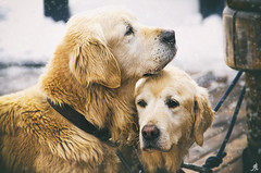 Brothers (Alessandro Giorgi Art Photography) Tags: brothers fratelli dogs cani animals animali twins gemelli winter snow mountain inverno montagna neve