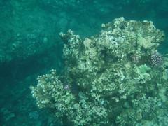 Coral (Rckr88) Tags: pointeauxbiches mauritius pointe aux biches sea water ocean coastline coast coastal reef reefs coral coralreef underwater fish snorkel snorkelling marinelife marine nature naturalworld