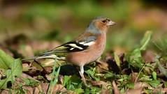 DSC_2067 Pinson des arbres mâle (sylvette.T) Tags: animal oiseau bird 2020 pinsondesarbresmâle fringillacoelebs chaffinch coth5