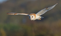 Barn Owl (KHR Images) Tags: barnowl barn owl tytoalba wild bird birdofprey hunting flying daylight north norfolk coast wildlife nature nikon d500 kevinrobson khrimages