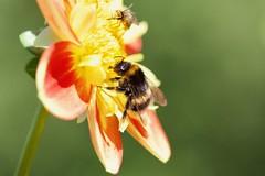 Dahlia (Michel photography / Thanks for 25 Millions) Tags: flower fleur dahlia abeille macro insecte