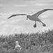 Northern Royal Albatross #5 - New Zealand