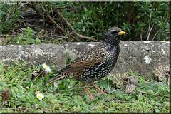 Etourneau sansonnet   (1) (Ezzo33) Tags: france gironde nouvelleaquitaine bordeaux ezzo33 nammour ezzat sony rx10m3 parc jardin oiseau oiseaux bird birds sturnusvulgaris commonstarling