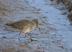 Redshank & mud (hedgehoggarden1) Tags: redshank birds wader rspb mud wildlife nature creature animal sonycybershot titchwell norfolk eastanglia uk sony bird