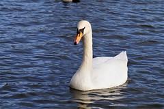 DSC06262 (tonywinward2) Tags: middlesbrough teesside north east yorkshire cleveland england uk united kingdom great britain albert park lake swan