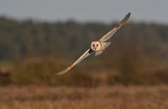 Barn Owl (KHR Images) Tags: barnowl barn owl tytoalba wild bird hunting flying daytime norfolk coast wildlife nature nikon d500 kevinrobson khrimages