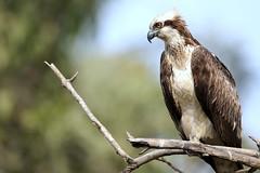 Osprey-7D2_9537-001 (cherrytree54) Tags: canon7dmkii sigma 150600 gambia abuko osprey