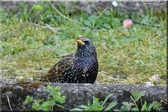 Etourneau sansonnet   (3) (Ezzo33) Tags: france gironde nouvelleaquitaine bordeaux ezzo33 nammour ezzat sony rx10m3 parc jardin oiseau oiseaux bird birds sturnusvulgaris commonstarling