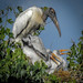 Wood Stork Nest with Chicks