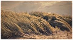 Dunes of Ameland (bert • bakker) Tags: duinen dunes ameland hollum friesland kust coast strand beach zee sea wind storm helmgras marram wolken clouds bestcapturesaoi elitegalleryaoi aoi