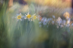 Un air de printemps (Thomas Vanderheyden) Tags: narcissuspseudonarcissus jonquillesauvage nature beautifulearth ngc flora flore flower fleur vegetal colors couleur fujifilm xt3 samyang135mm thomasvanderheyden