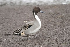 PINTAIL (_jypictures) Tags: animalphotography animals animal animalplanet canon canon7d canonphotography canon7dphotography wildlife wildlifephotography wiltshire naturephotography nature photography pictures pintail birdwatching birding birdingphotography bird birds birdphotography birders