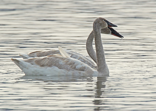Trumpeter Swan - Irondequoit Bay Outlet - © Rosemary Reilly - Jan 30, 2020