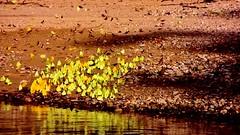 MEXICO, Las Guacamayas, direkt am Rio Lacantún, Flora und Fauna mitten im Dschungel, Schmetterlinge , 19518/12360 (roba66) Tags: urlaub reisen travel explore voyages rundreise visit tourism roba66 mexiko mexico mécico méjico nordamerika northamerica zentralamerika yukatanhalbinsel 2017 chiapas colour color farbe schmetterling butterfly insect insekt papillon borboleta mariposa nature natur naturalezza wild wildlife fauna dschungel