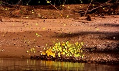 MEXICO, Las Guacamayas, direkt am Rio Lacantún, Flora und Fauna mitten im Dschungel, Schmetterlinge , 19516/12358 (roba66) Tags: urlaub reisen travel explore voyages rundreise visit tourism roba66 mexiko mexico mécico méjico nordamerika northamerica zentralamerika yukatanhalbinsel 2017 chiapas colour color farbe schmetterling butterfly insect insekt papillon borboleta mariposa nature natur naturalezza wild wildlife fauna dschungel