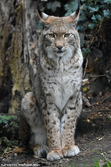 Eurasian lynx - Zoo Duisburg (Mandenno photography) Tags: animal animals dierenpark dierentuin dieren zoo duitsland discovery ngc nature natgeo natgeographic cat cats bigcat big zooduisburg duisburg germany bbcearth bbc
