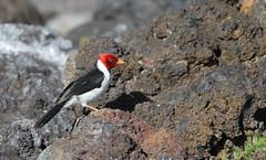 EOS-1D X4445 View Large. Red-crested Cardinal on volcanic rock. Puako, Big Island. Hawaii. (E.W. Smit Wildlife) Tags: gitzo gitzotripod g1325mk2 gitzog1325mk2 gitzog1325mk2tripod wimberley wimberleygimbalheadwh200 wimberleygimbalhead wimberleywh200 gimbalhead ef500mmf4lisii ef500mmf4lisiiusm canonef500mmf4lisiiusm wildanimals tourist tourists telephotolens tripod unitedstatesofamerica usa outdoors outdoor supertelephotolens island bird birds ocean pacificocean animal avian animals wildanimal canon nature wildlife cardinal redcrestedcardinal canoneos1dx 1dx canon1dx canonef500mmf4lisii canonef14xextenderiii canonef14xiii eos1dx park parks canonef500mmf4lisiiusm14xiii ef500mmf4lisii14xiii ef500mmf4lisiiusm14xiii puakohawaii puakobigisland puakobigislandhawaii puako 14xii hawaii