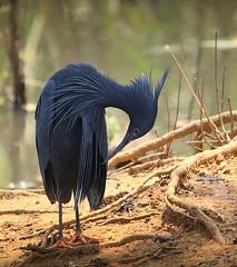 Black Heron (Hannah 0013) Tags: blackheron bird water nature wildlife preening canon