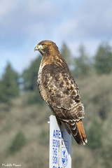 Looking into the Area Beyond (lamoustique) Tags: redtailedhawk buteojamaicensis buseàqueuerousse ridgefieldnwr ridgefield washington usa