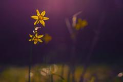 Tamron 70-300mm (JuanCarlossony) Tags: narcisos macro macrofotografía flores tamron 70300mm sony slta58 a58 color