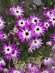 Blooming Flowers in Germany (DieterLo1) Tags: blumen flowers blüten appleiphone7plus iphone nature blossom blooming