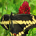 Giant swallowtail on crimson clover  (Papilio cresphontes)