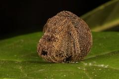 Orb-weaver Spider (Poltys sp., Araneidae) (John Horstman (itchydogimages, SINOBUG)) Tags: macro china yunnan itchydogimages sinobug canon spider arachnid orbweaver araneidae fba