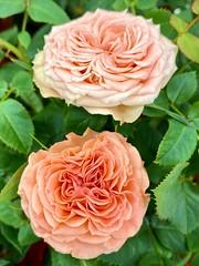 Luminous Roses (wjaachau) Tags: homedecoration decoration inspiration abstract peachcolor sunshine summer garden landscape nature bouquet floral flowers minirose rose