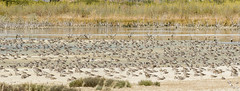 Bar-tailed Godwits en Masse (marlin harms) Tags: limosalapponica bartailedgodwit