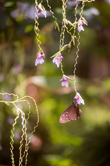 (kuuan) Tags: mf manualfocus canon ltm f35 100mm 35100 f35100mm canonltm canonltmf35100mm sonya7 ilce7 sony bali indonesia ubud garden flowers plants bokeh butterfly wideopen